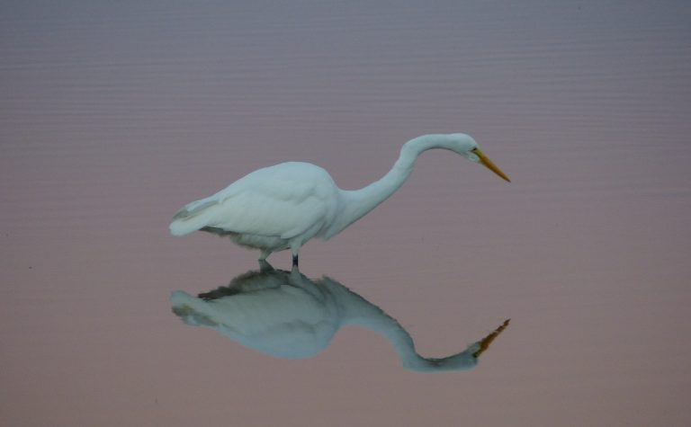 Egret on the Ipswich River | Photo by Ben Flemer